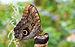 Caligo eurilochus bananenfalter.jpg