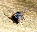 Calliphora sp. Blowfly - Flickr - gailhampshire (1).jpg