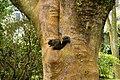 Callosciurus erythraeus 赤腹松鼠 red-bellied tree squirrel - panoramio.jpg