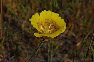 Calochortus luteus-1.jpg