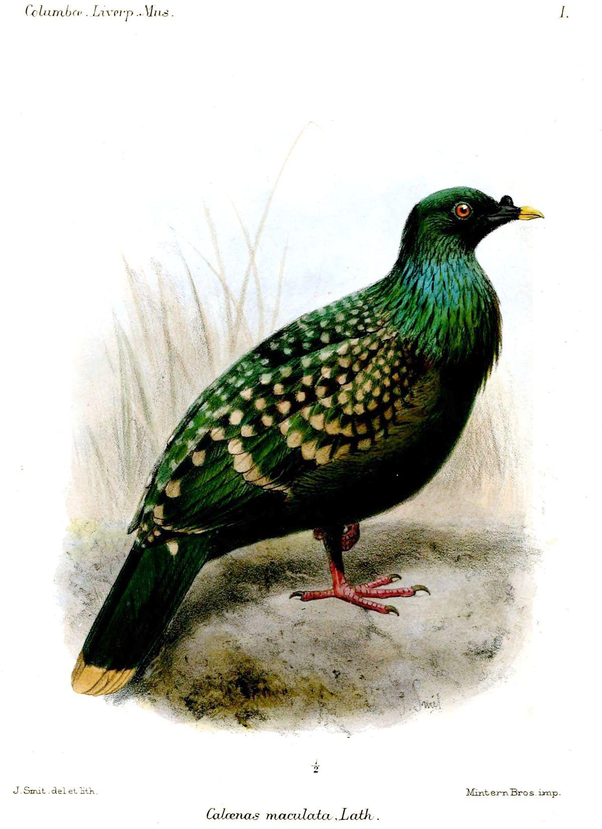 کبوتر سبز Spotted green pigeon - Wikidata