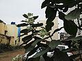 Calotropis gigantea-white plant-yercaud-salem-India.JPG