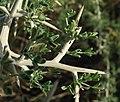 Calycotome villosa - panoramio.jpg