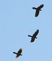 Three black-coloured birds flying high overhead. They have long square-tipped tails.