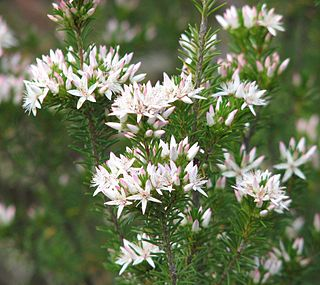 <i>Calytrix</i> genus of plants