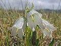 Campanula alpina (32340062057).jpg