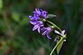 Campanula bononiensis (8247088199).jpg