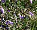 Campanula sibirica 2.jpg