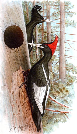Imperial woodpecker - Adult male (front) and female (back)