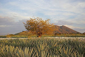 Agave Landscape and Ancient Industrial Facilities of Tequila - Agave field near Tequila, Jalisco