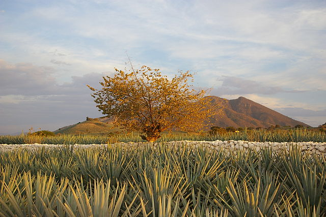 Agave Landscape and Ancient Industrial Facilities of Tequila