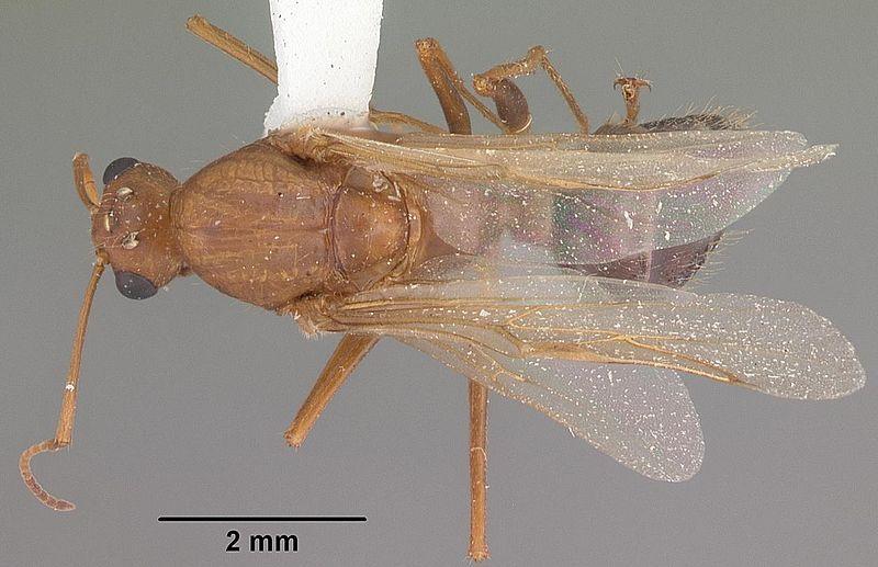 File:Camponotus floridanus casent0103676 dorsal 1.jpg