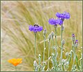 Can T Resist Blue Cornflowers (258939959).jpeg