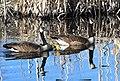 Canada Geese (brood) (7027855805).jpg