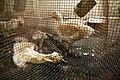 Canard-mort-vivant-cage-defoncee.jpg