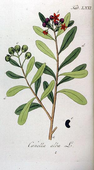 Canellaceae - Image: Canella alba Ypey 71