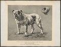 Canis lupus familiaris - 1700-1880 - Print - Iconographia Zoologica - Special Collections University of Amsterdam - UBA01 IZ22200149.tif