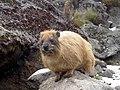 Cape Hyrax Mt Kenya 2.JPG