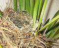 Cape Wagtail nestlings 13 days old Motacilla capensis IMG 2431c.jpg