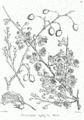 Capparis aphylla Bra3.png