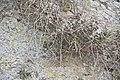 Capparis spinosa-2077.jpg