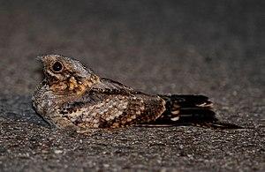 Red-necked nightjar - In Portugal