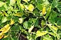Capsicum baccatum Peru Yellow 1zz.jpg