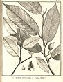 Caraipa 1. parvifolia 2. longifolia Aublet 1775 pl 223.jpg