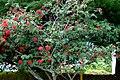 Carbonero rojo (Calliandra hematocephala) (14702251122).jpg