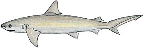 Description de l'image  Carcharhinus_acro.JPG.