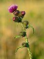 Carduus crispus - Keila.jpg