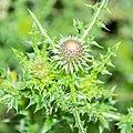 Carduus nigrescens subsp. vivariensis in Causse Comtal (3).jpg