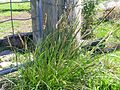 Carex appressa plant3 NC - Flickr - Macleay Grass Man.jpg