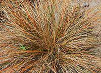 Carex comans.jpg
