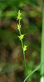 Carex echinata 01.jpg