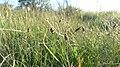 Carex filifolia 5.jpg