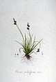 Carex pilulifera — Flora Batava — Volume v6.jpg
