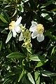 Carpenteria californica kz02.jpg