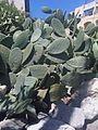 Caryophyllales - Opuntia ficus-indica - Malta 1.jpg
