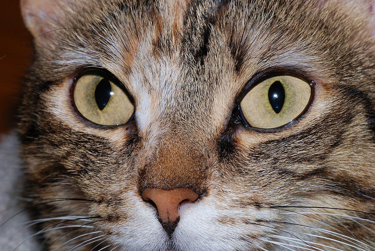 File:Cat eyes 2007-2.jpg