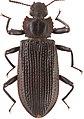Catapiestus bispinosus (10.3897-zookeys.809.31162) Figure 1.jpg