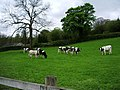 Cattle - geograph.org.uk - 413099.jpg