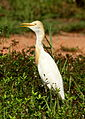Cattle Egret (1).jpg