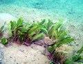 Caulerpa taxifolia.tif