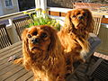 Cavalier King Charles Spaniel Dogs Picture