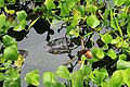 Cc lurking crocodile cebu zoo.jpg