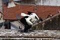Cegonha Branca ( Ciconia ciconia ) 25 (48309364252).jpg