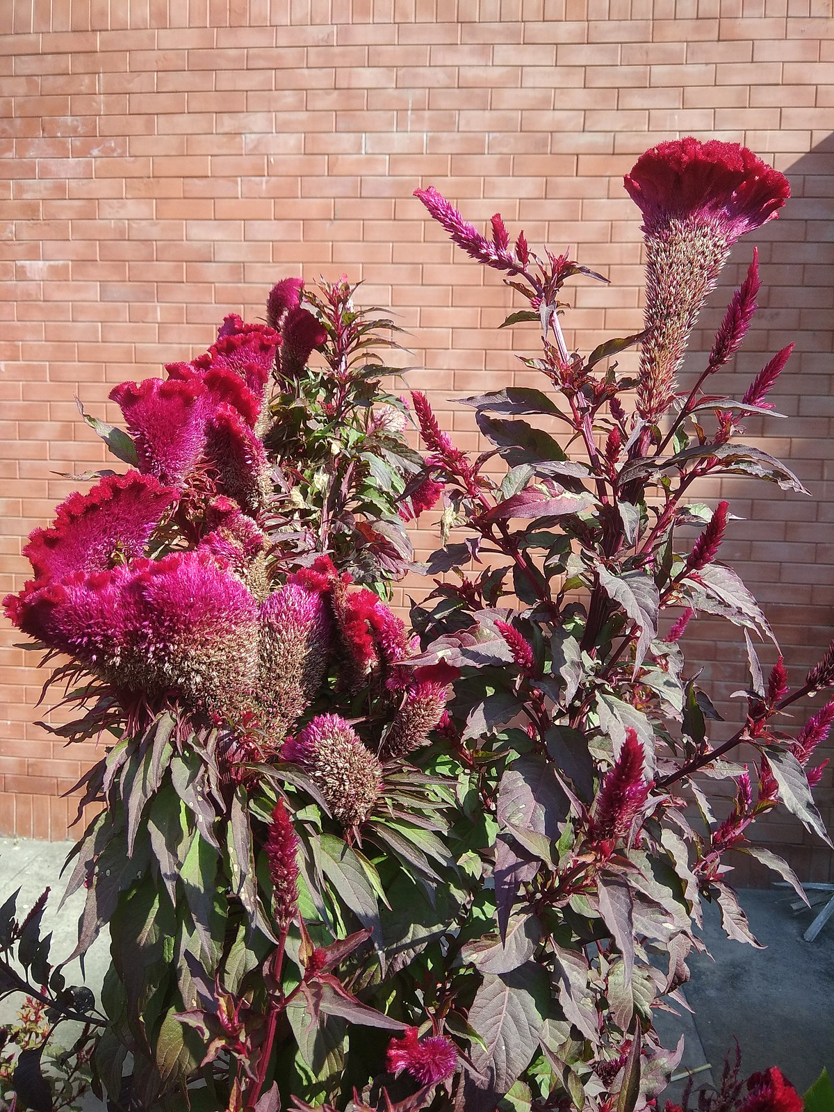 Make The Cut >> Celosia cristata - Wikipedia