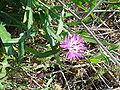 Centaurea seridis re.jpg
