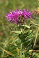 Centaurea uniflora-nervosa PID864-1.jpg